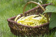 Świeże żółte fasole Obraz Royalty Free
