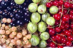 świeże agrestowy czarnych koryntek czerwony white Fotografia Royalty Free