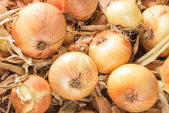 Świeże cebule na ziemi Zdjęcie Stock