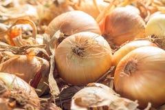 Świeże cebule na ziemi Obraz Stock