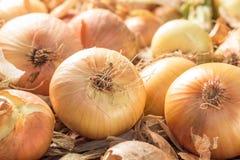 Świeże cebule na ziemi Zdjęcia Stock