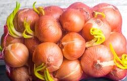 Świeże cebule w siatki lub torby dobrym żniwie, zakończenie obrazy stock