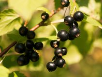 Świeże czarnego rodzynku jagody zdjęcie royalty free