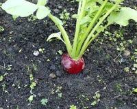 Świeże czerwone rzodkwie z liśćmi Zdjęcia Stock