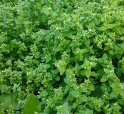 Świeże dzikie rośliny Zdjęcia Royalty Free