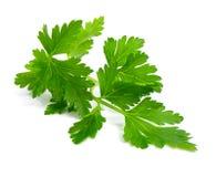 świeże gałęziasta zielona pietruszka Fotografia Stock