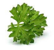 świeże gałęziasta zielona pietruszka Zdjęcie Royalty Free