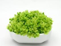 świeże green Zdjęcie Royalty Free