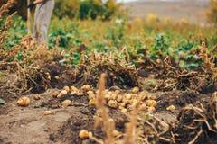 Świeże grule Kopią Od ziemi w gospodarstwie rolnym Kartoflany zbierać zdjęcia stock