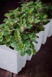 świeże herb oregano Fotografia Stock