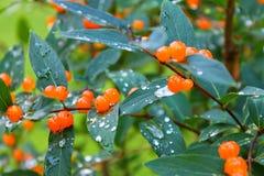 Świeże jagody pomarańczowa banksja obraz stock