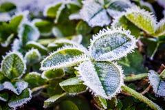 Świeże koniczyn flance zakrywać z lodem Zdjęcie Stock