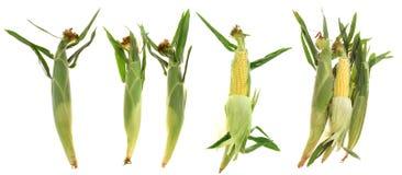 Świeże kukurudze Obraz Royalty Free