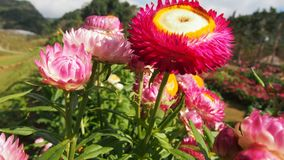świeże kwiat menchie obraz royalty free