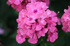 świeże kwiaty różowy Zdjęcia Stock