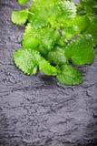 świeże liść miętowy zdjęcie stock