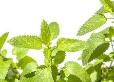 świeże liść miętowy Fotografia Stock
