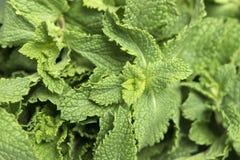 świeże liść miętowy tło wsiada horyzontalną węźlastej sosny teksturę Fotografia Stock