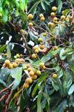 świeże longan Zdjęcie Royalty Free