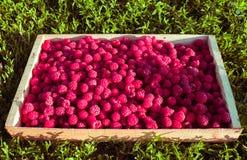 Świeże malinki w drewnianym pudełku na tle zielona trawa Dojrzałe jagody w drewnianym pudełku zdjęcia royalty free