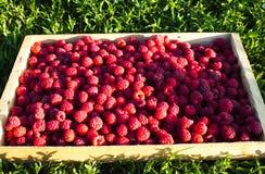 Świeże malinki w drewnianym pudełku na tle zielona trawa Dojrzałe jagody w drewnianym pudełku zdjęcie royalty free