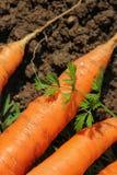 Świeże marchewki, żniwo zdjęcie royalty free