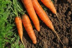 Świeże marchewki w ogródzie zdjęcie stock