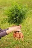 świeże marchwiany organicznych obrazy stock