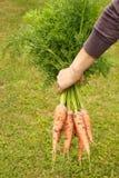świeże marchwiany organicznych zdjęcie stock