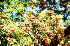 Świeże mirabelki śliwki w drzewie na lato czasie Obrazy Royalty Free