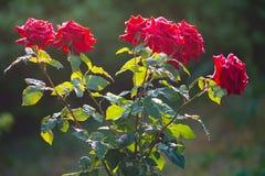 Świeże ogrodowe czerwone róże w podeszczowych kroplach Rosa na kwiatów płatkach Fotografia Stock