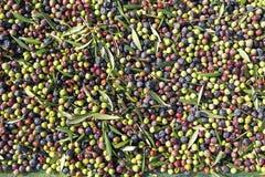 Świeże oliwne owoc Zdjęcie Stock
