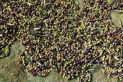 Świeże oliwne owoc Zdjęcia Royalty Free
