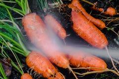 Świeże organicznie marchewki wyprostowywają z ziemi Myć z brudu Organicznie ogrodnictwo przy swój świetnym Zdjęcia Royalty Free