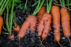 Świeże organicznie marchewki wyprostowywają z ziemi Myć z brudu Organicznie ogrodnictwo przy swój świetnym Fotografia Royalty Free
