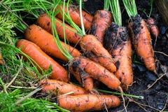 Świeże organicznie marchewki wyprostowywają z ziemi Organicznie ogrodnictwo przy swój świetnym Zdjęcie Royalty Free