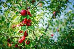 Świeże organicznie nektaryny na drzewie Dojrzałe nektaryny obraz royalty free