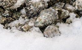 Świeże ostrygi zakrywać z lodem Obrazy Stock