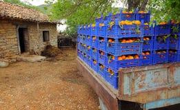 Świeże pomarańcze w gospodarstwie rolnym obraz stock
