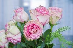 świeże różowe róże Obraz Stock