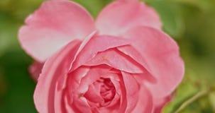 Świeże różowe róże w ogródzie Jasnoróżowe róże w ogródzie na wietrznym dniu w jesień czasie zdjęcie wideo