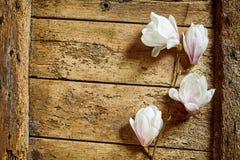 Świeże różowe wiosen magnolie obrazy stock