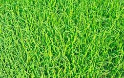 Świeże ryżowe rozsady Obraz Royalty Free