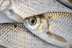 świeże ryby Obraz Stock