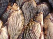 świeże ryby Fotografia Royalty Free