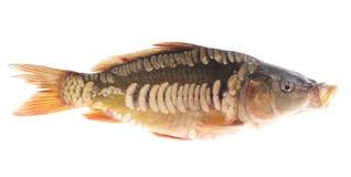 świeże ryby Zdjęcie Royalty Free
