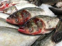 świeże ryby Obrazy Stock