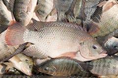 świeże ryby tilapia Obraz Stock