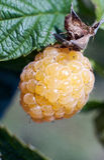 Świeże Soczyste żółte malinki na gałąź na zielonym natury bac Zdjęcia Royalty Free