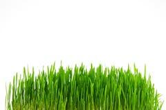 świeże trawa zieleni Zdjęcie Stock